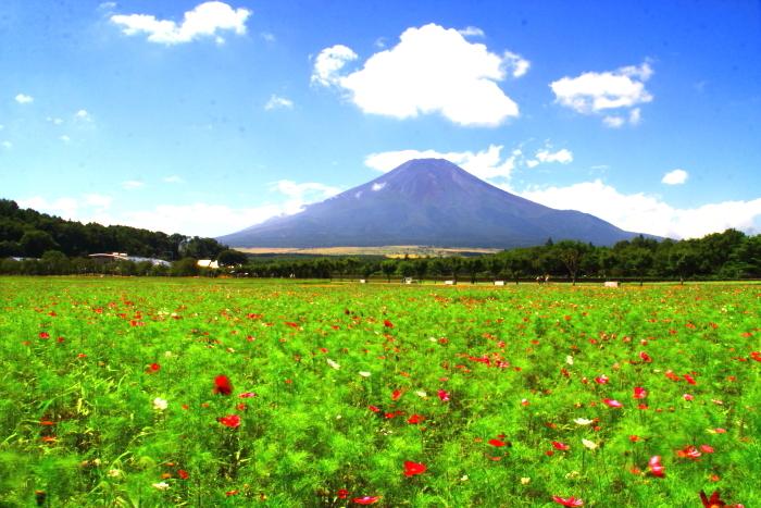 令和2年8月の富士(18) 花の都公園コスモスと富士 _e0344396_17164261.jpg