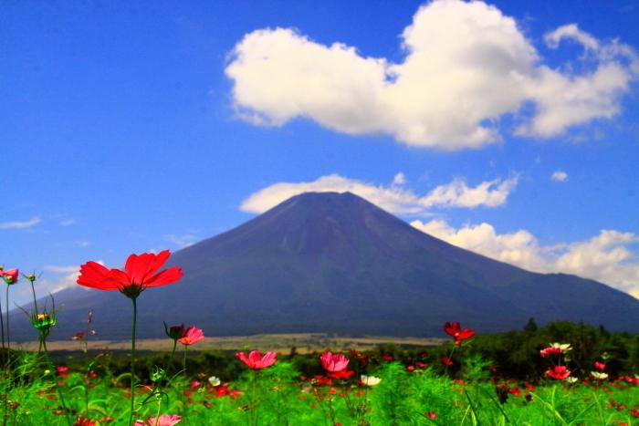 令和2年8月の富士(18) 花の都公園コスモスと富士 _e0344396_17164269.jpg