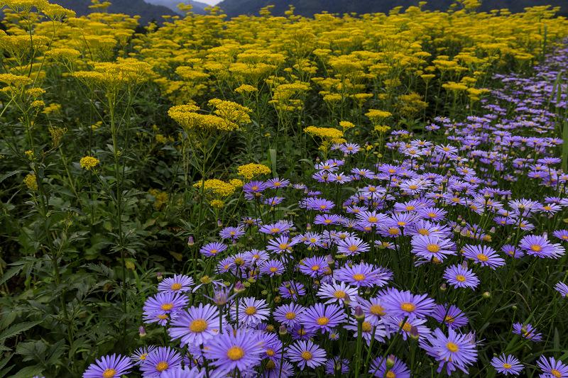 越畑の女郎花と夏の花々_f0155048_22541088.jpg