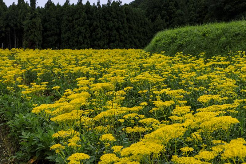 越畑の女郎花と夏の花々_f0155048_22562958.jpg