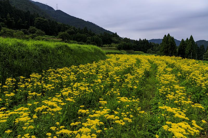 越畑の女郎花と夏の花々_f0155048_22565652.jpg