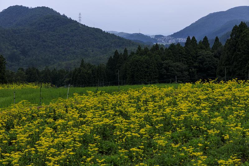 越畑の女郎花と夏の花々_f0155048_22593949.jpg