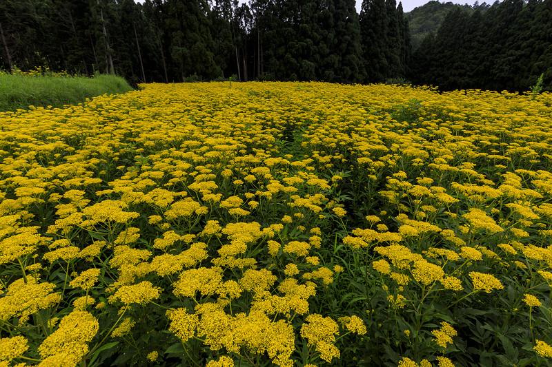 越畑の女郎花と夏の花々_f0155048_2310476.jpg