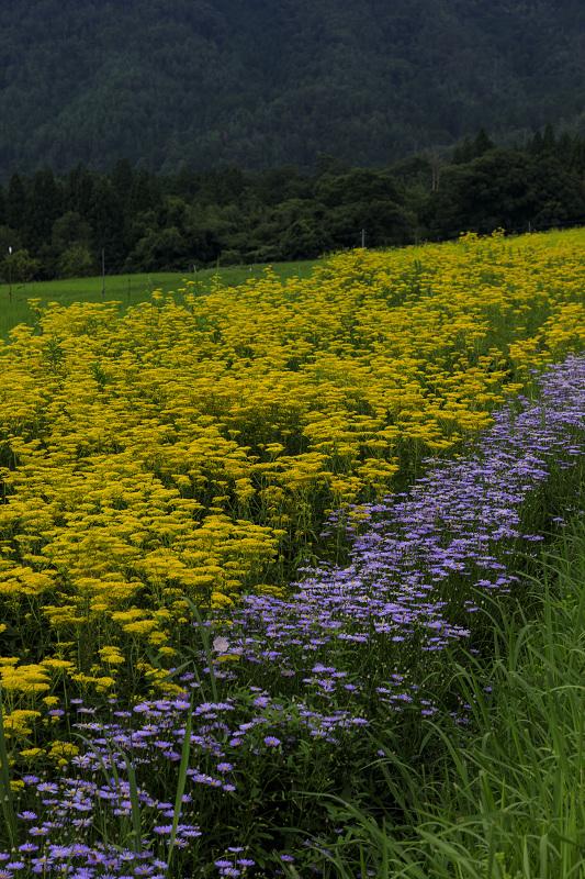 越畑の女郎花と夏の花々_f0155048_23115167.jpg