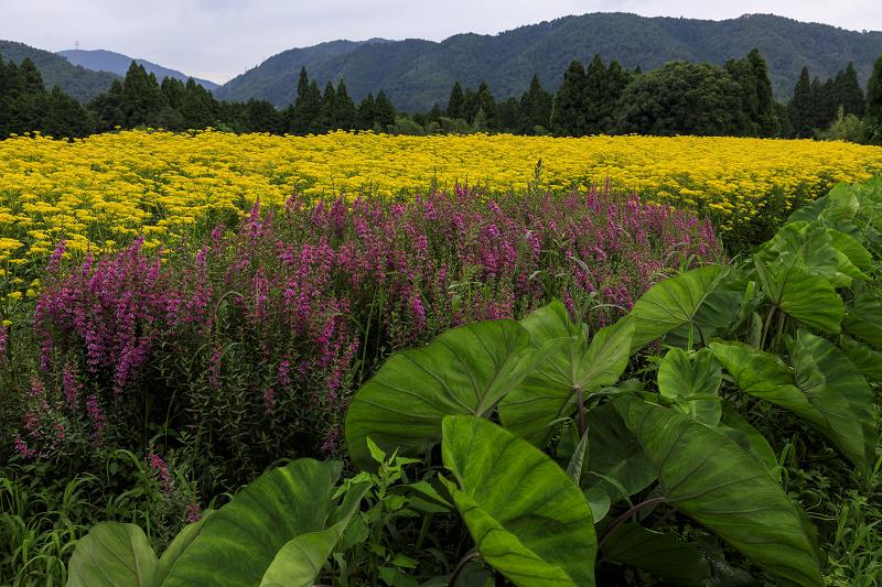 越畑の女郎花と夏の花々_f0155048_23121013.jpg