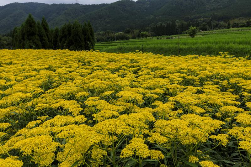越畑の女郎花と夏の花々_f0155048_2312398.jpg