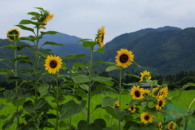越畑の女郎花と夏の花々_f0155048_2312852.jpg