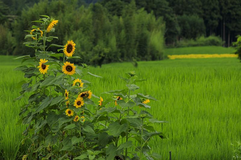 越畑の女郎花と夏の花々_f0155048_2313836.jpg