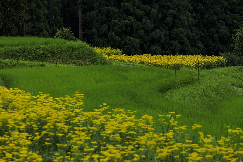 越畑の女郎花と夏の花々_f0155048_2315188.jpg