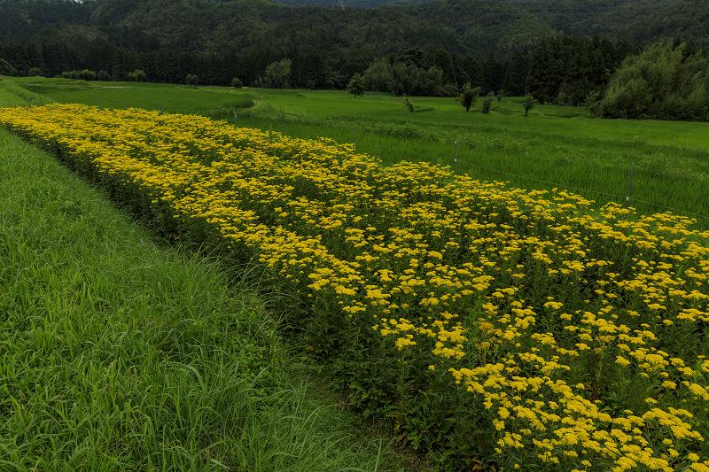 越畑の女郎花と夏の花々_f0155048_2324076.jpg