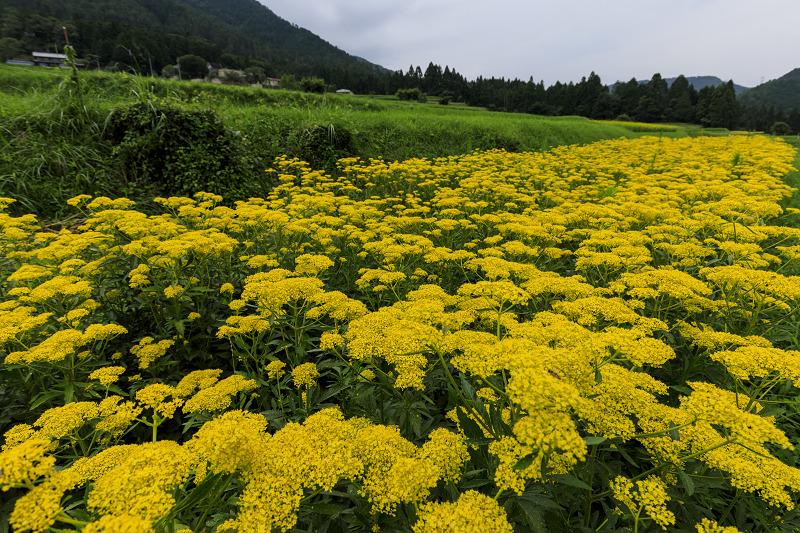 越畑の女郎花と夏の花々_f0155048_2325938.jpg