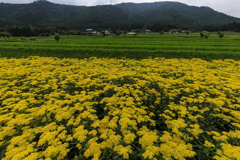 越畑の女郎花と夏の花々_f0155048_2331465.jpg