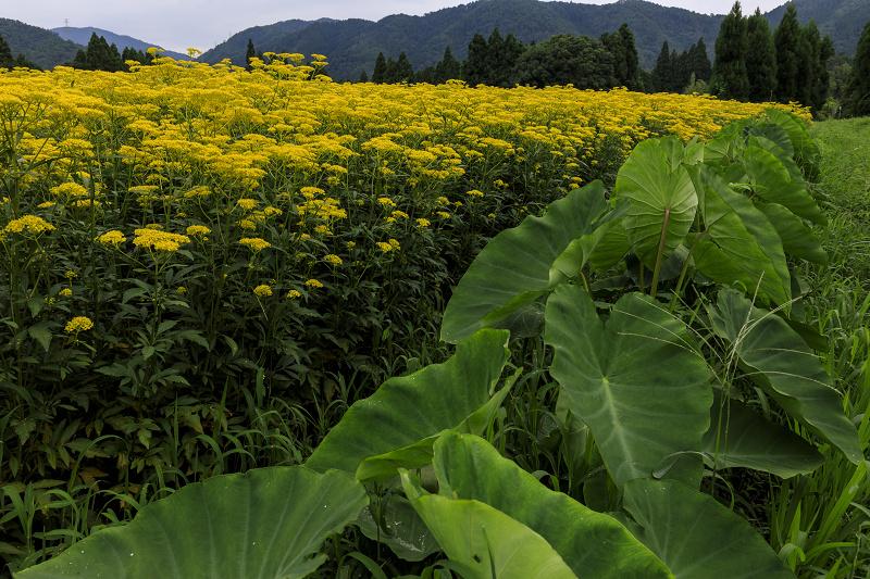 越畑の女郎花と夏の花々_f0155048_233527.jpg