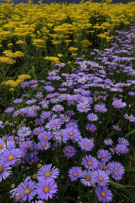 越畑の女郎花と夏の花々_f0155048_2369100.jpg