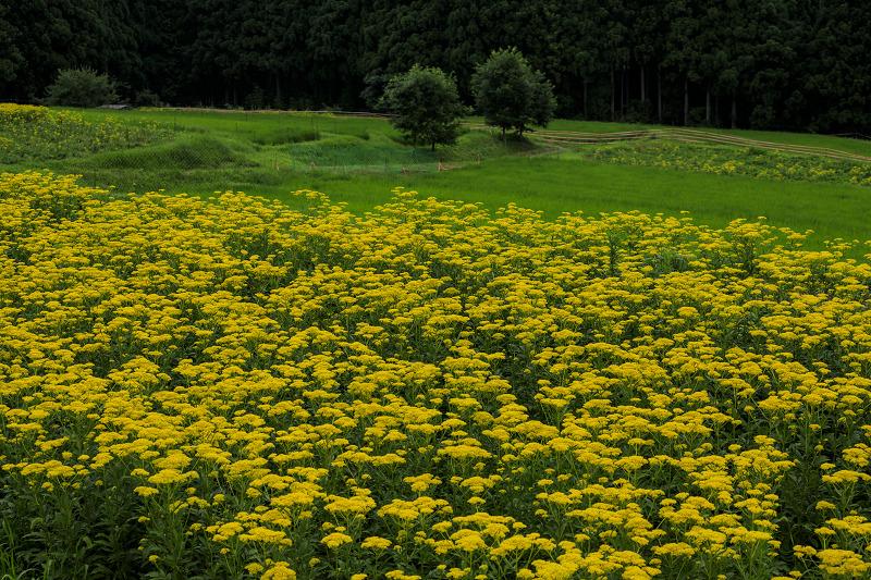 越畑の女郎花と夏の花々_f0155048_2381592.jpg