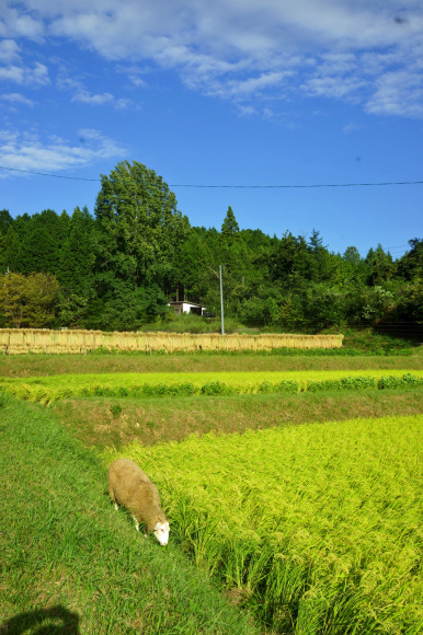 今年の稲刈り始まりました。_d0231263_23222319.jpg