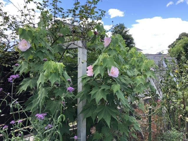 今年も「酔芙蓉」が咲き始めました_a0243064_12414940.jpg