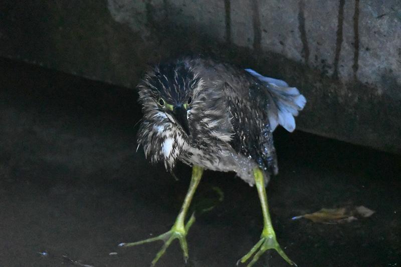 オオタカがよく観察されました!★先週末の鳥類園(2020.9.5~6)_e0046474_16481085.jpg