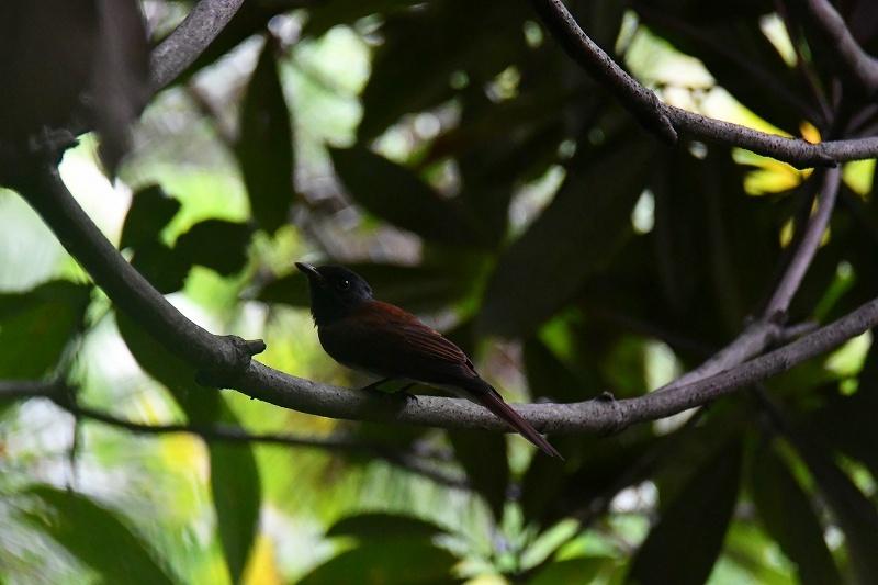 オオタカがよく観察されました!★先週末の鳥類園(2020.9.5~6)_e0046474_16481179.jpg