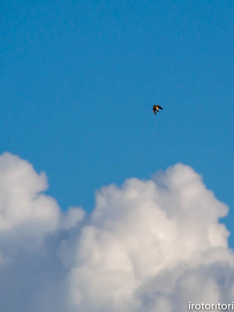 入道雲とツバメ  (ツバメ)  2020/09/07_d0146592_23301522.jpg