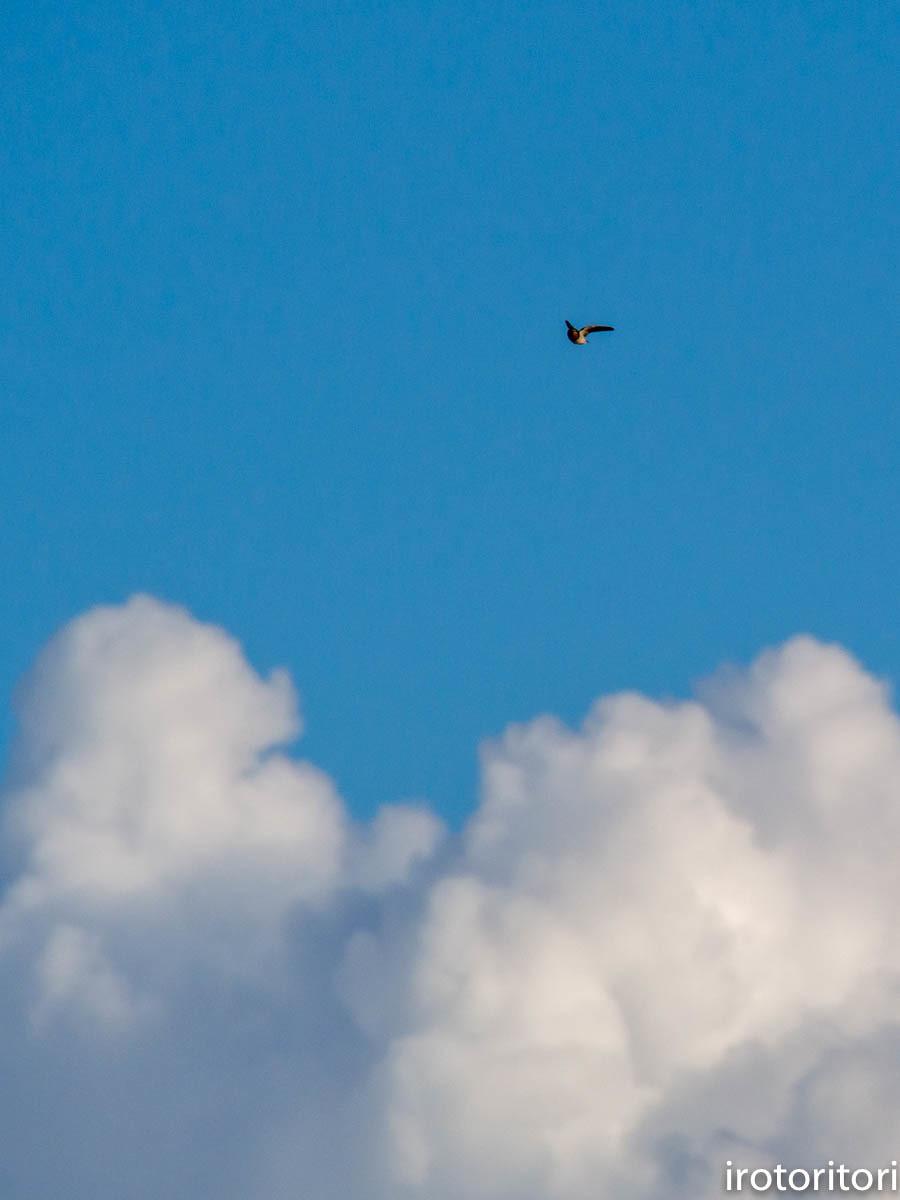 入道雲とツバメ  (ツバメ)  2020/09/07_d0146592_23304644.jpg