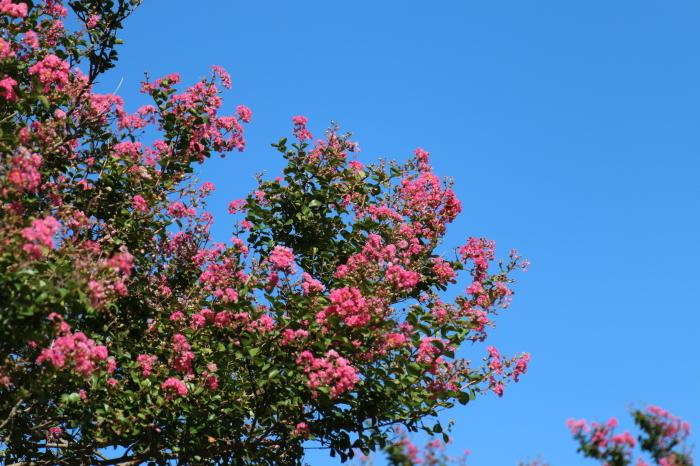 百日紅の花♪暑さはいつまで。。。_d0152261_19063988.jpg