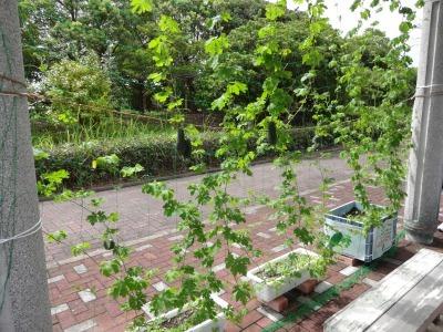 緑のカーテン(ゴーヤ)栽培実験R2.9.8_d0338682_15593641.jpg