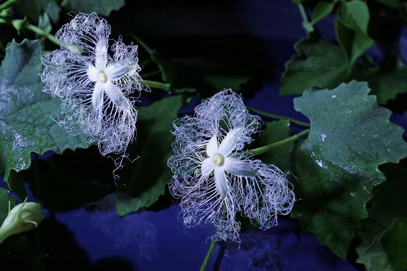 カラスウリの花_a0206701_21044152.jpg