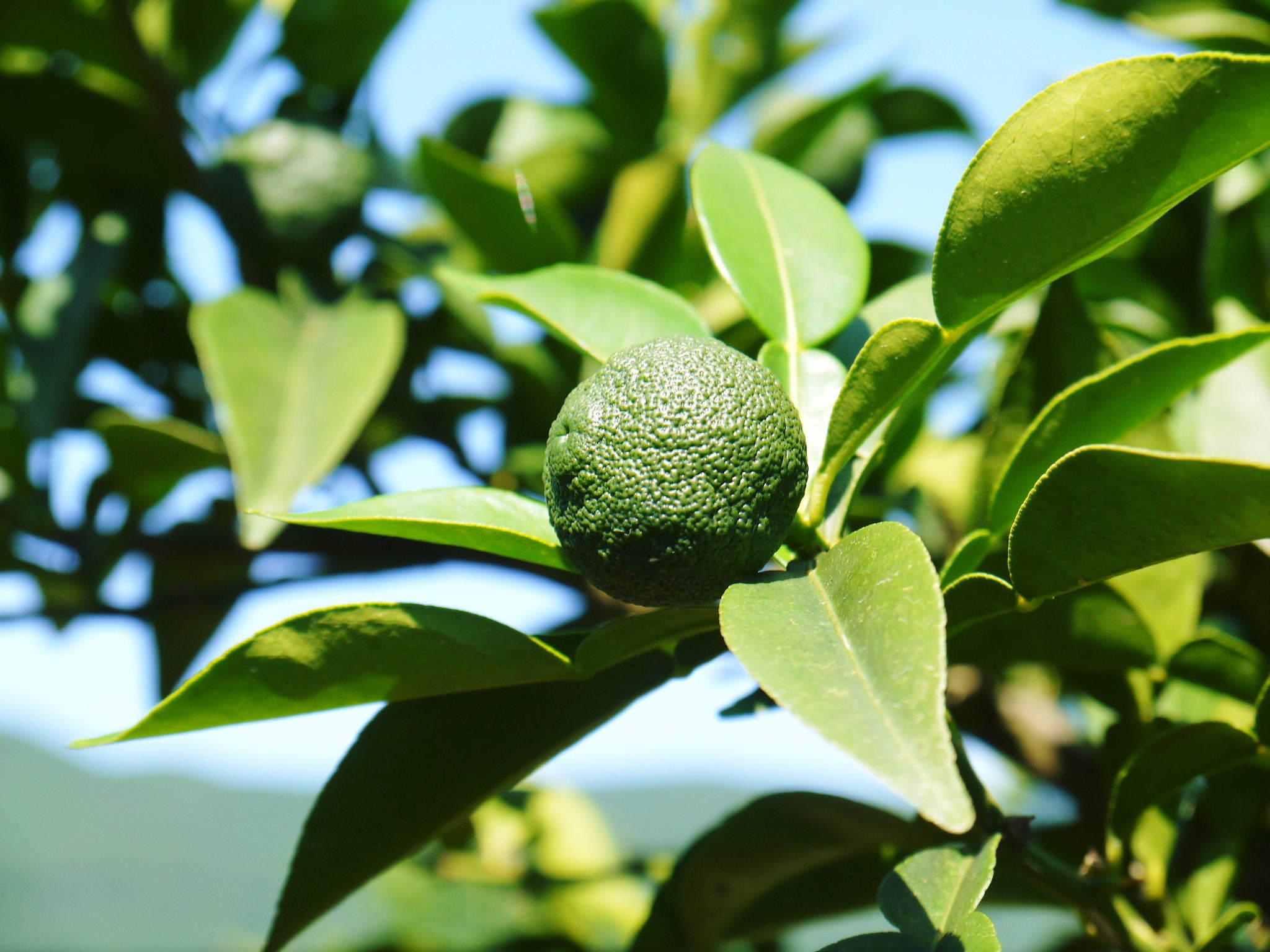 令和2年度の香り高き『青柚子』予約販売受付スタート!手作り「柚子こしょう」を作ってみませんか?_a0254656_17330391.jpg