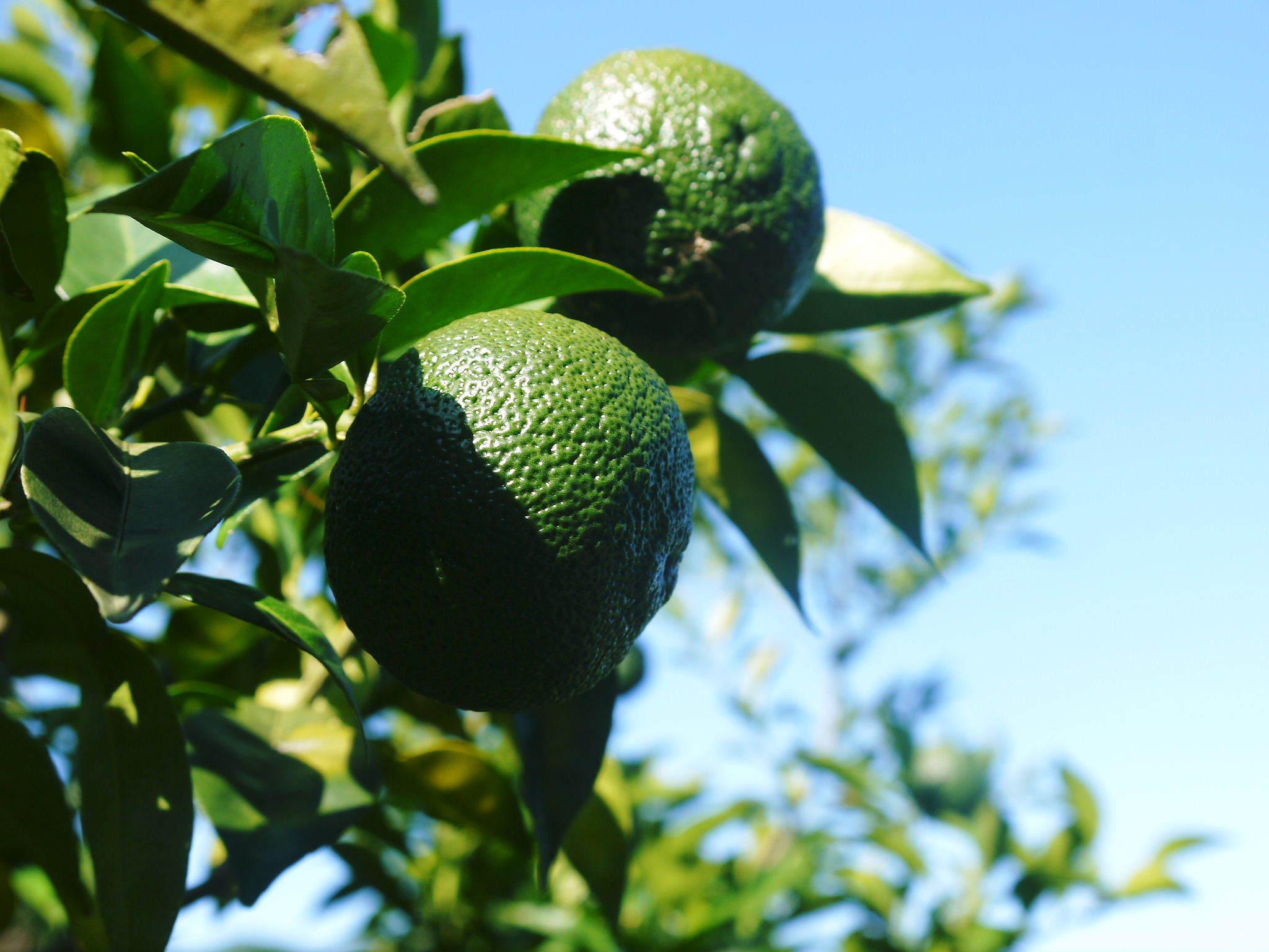 令和2年度の香り高き『青柚子』予約販売受付スタート!手作り「柚子こしょう」を作ってみませんか?_a0254656_17415913.jpg