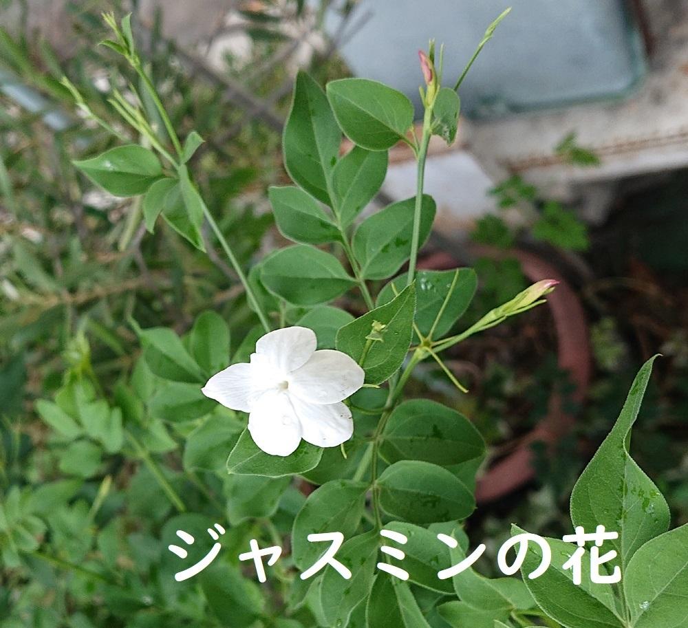 ジャスミンの花の薬効など_d0096268_23283016.jpg