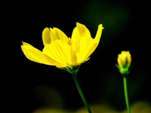 2020.9.9黄色いコスモス(昭和記念公園)_e0321032_13084509.jpg