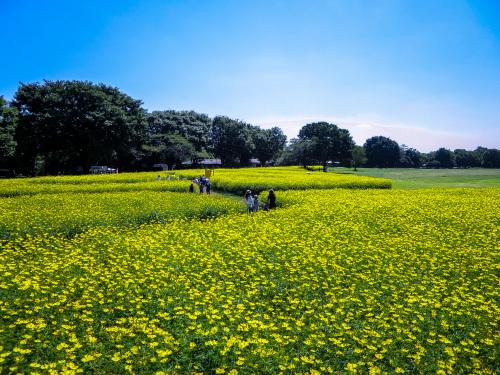 2020.9.9黄色いコスモス(昭和記念公園)_e0321032_13091781.jpg