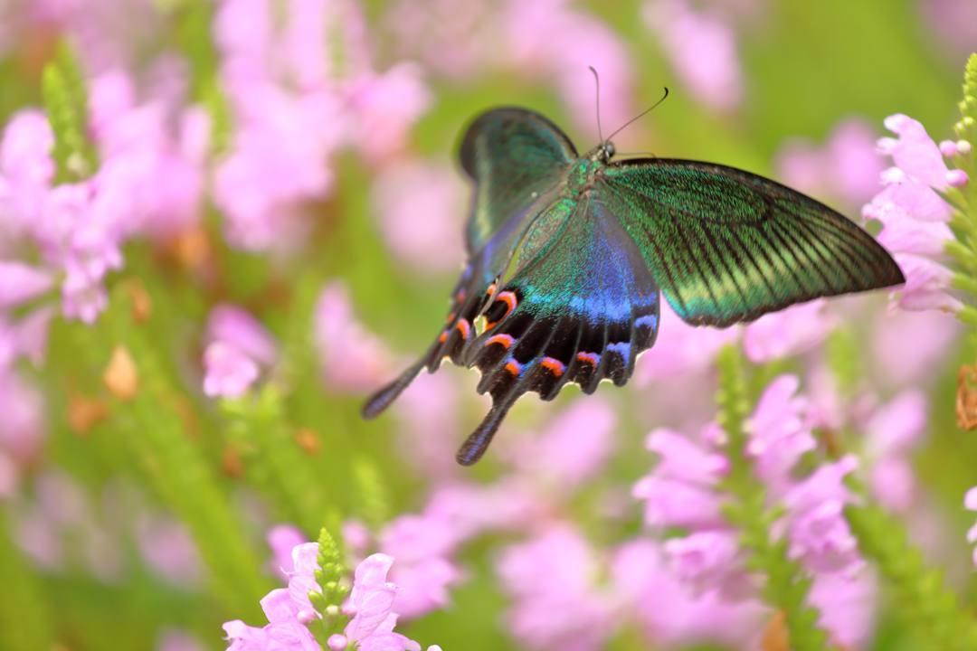 花と蝶(ハナトラノオにミヤマカラスアゲハ)_e0403850_19464728.jpg