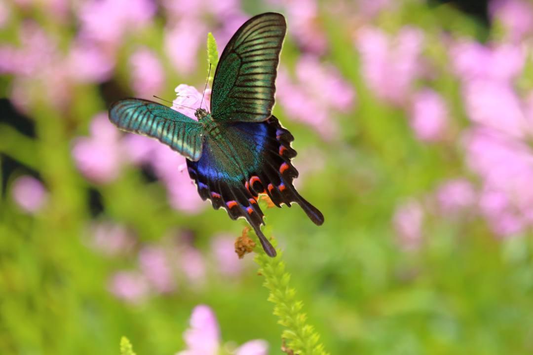 花と蝶(ハナトラノオにミヤマカラスアゲハ)_e0403850_19471876.jpg