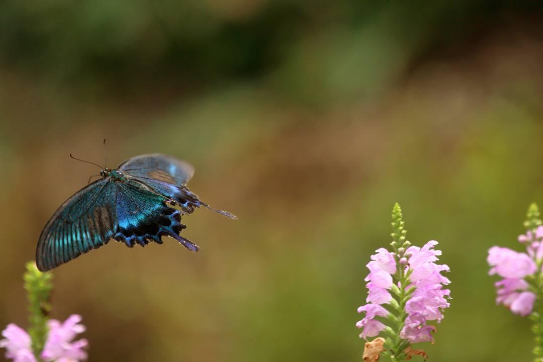 花と蝶(ハナトラノオにミヤマカラスアゲハ)_e0403850_19473151.jpg
