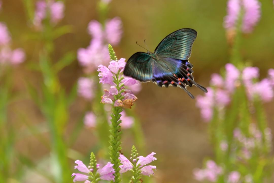 花と蝶(ハナトラノオにミヤマカラスアゲハ)_e0403850_19473543.jpg