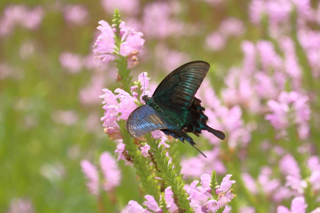 花と蝶(ハナトラノオにミヤマカラスアゲハ)_e0403850_19473990.jpg