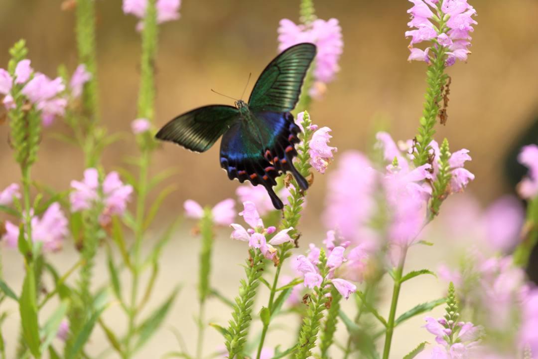花と蝶(ハナトラノオにミヤマカラスアゲハ)_e0403850_19475369.jpg