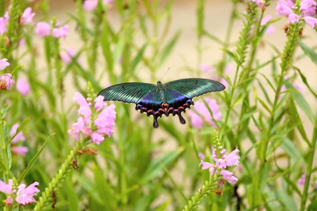 花と蝶(ハナトラノオにミヤマカラスアゲハ)_e0403850_19475752.jpg