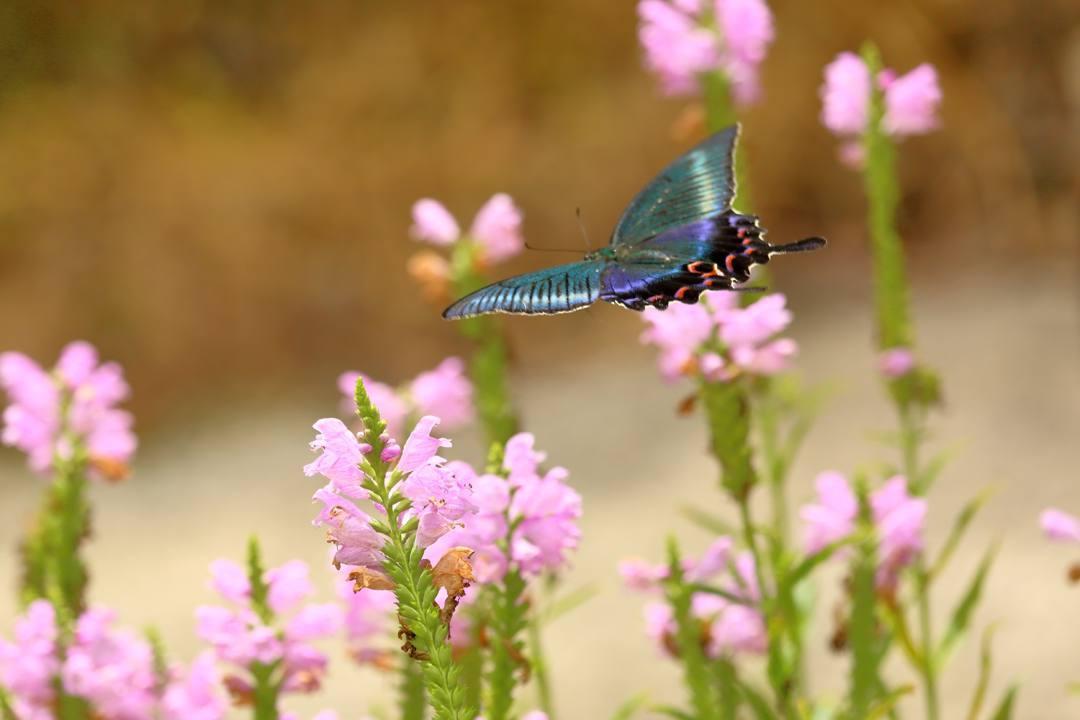 花と蝶(ハナトラノオにミヤマカラスアゲハ)_e0403850_19511252.jpg