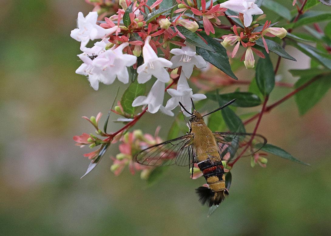 夏の蛾から2020 その1_d0146854_22335640.jpg