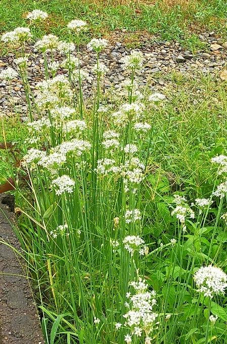 20200910 【家庭菜園】ニラ、花盛り_b0013099_19103520.jpg