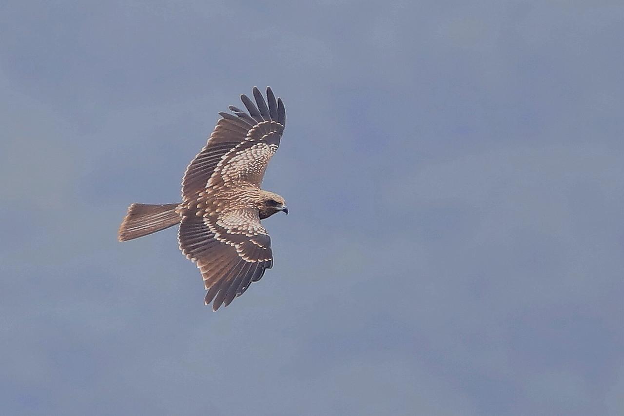 鷹の渡り_f0296999_18172678.jpg