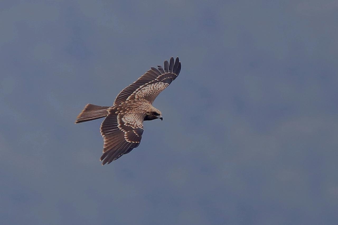 鷹の渡り_f0296999_18173794.jpg