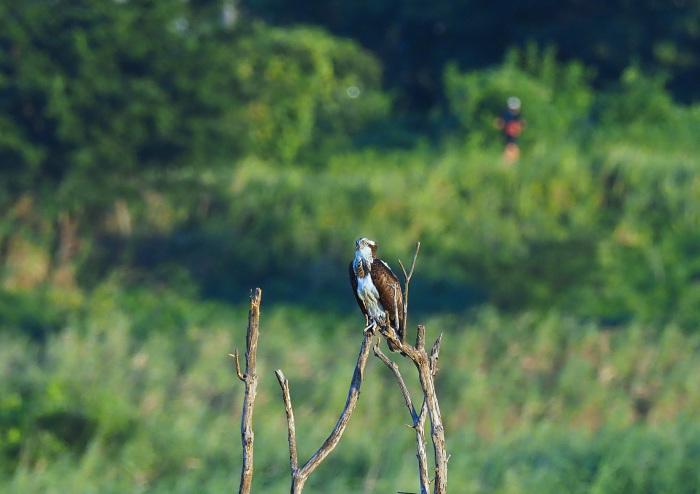 美しき湿原にミサゴがやって来た Ⅰ_d0290240_18595438.jpg