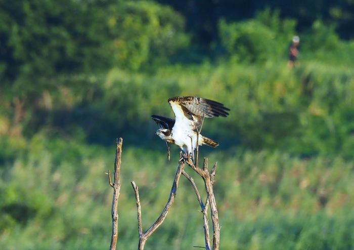 美しき湿原にミサゴがやって来た Ⅰ_d0290240_18595574.jpg
