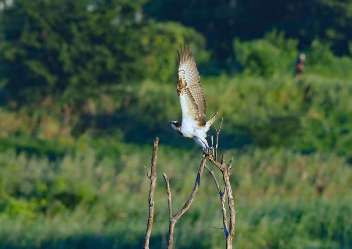 美しき湿原にミサゴがやって来た Ⅰ_d0290240_18595609.jpg