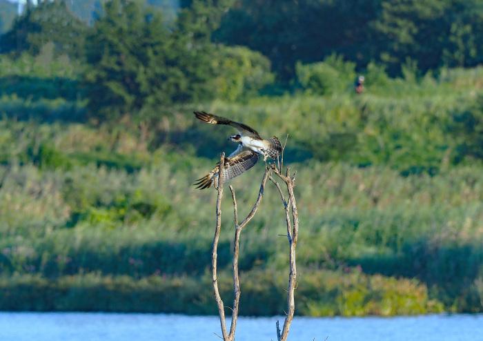 美しき湿原にミサゴがやって来た Ⅰ_d0290240_18595700.jpg