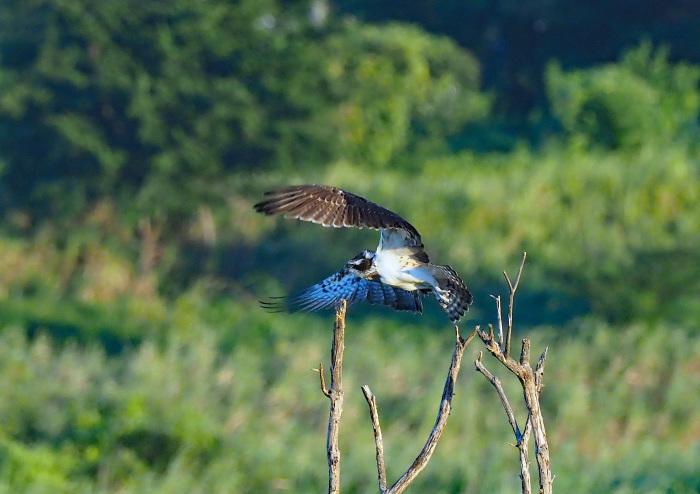 美しき湿原にミサゴがやって来た Ⅰ_d0290240_18595780.jpg